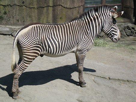 Gravy Zebra Male, Zebra, Mammal, Tama Animal Park