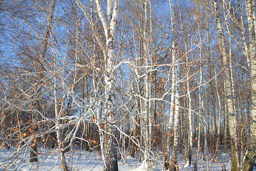 Birch, Forest, Nature, Trees, Living Nature, Trunk