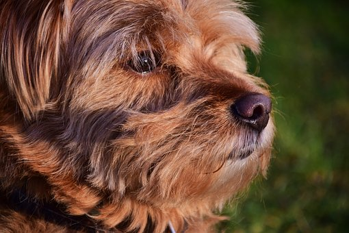 Dog, Hybrid, Hairy, Small, Pet, Animal, Mammal, Head