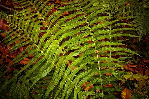 Fern, Plant, Green, Nature, Leaves, Forest, Fern Plant