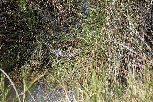 Alligator, Swamp, Reptile, Hatched, Nature, Marsh