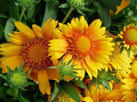 Beautiful, Yellow, Orange, Flowers, Nature, Cluster