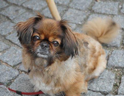 Dog, Pekinese, Animal, Pet, Cute, Nice, Face, Animals