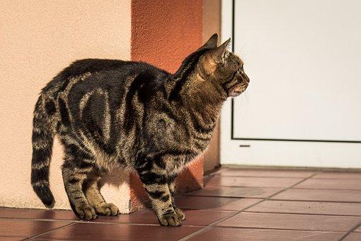 Cat, Kitten, Tabby, Domestic Cat, Coat, Dachowiec