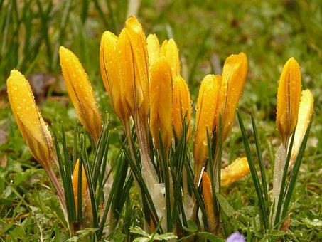 Crocus, Plant, Garden, Close, Macro, Flowers, Spring