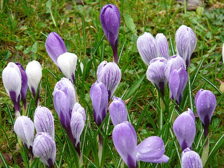Crocus, Schwertliliengewaechs, Flower, Garden, Rain