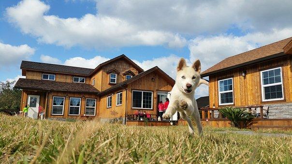 Korean Jindo, Dog Breed, Korean Jindo Dog, Dog, Puppy