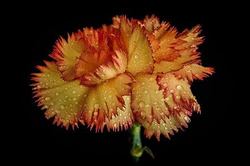 Grenadin, Raindrops, Flower, Orange, Red, Nature