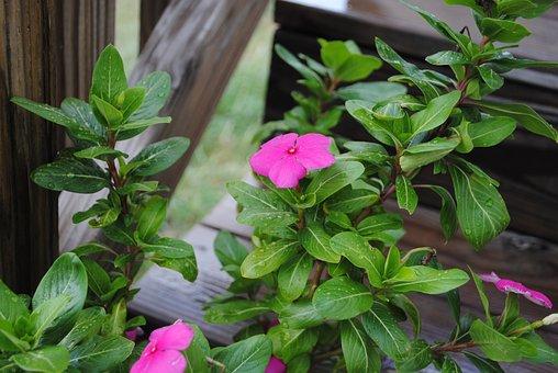 Flower, Purple, Impatiens, Plant, Nature, Green, Garden