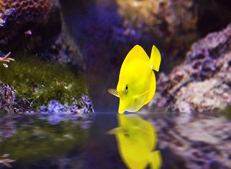Surgeonfish, Fish, Yellow, Aquarium, Swim, Underwater