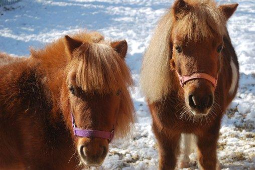 Mini Horses, Horse, Animal, Farm, Miniature