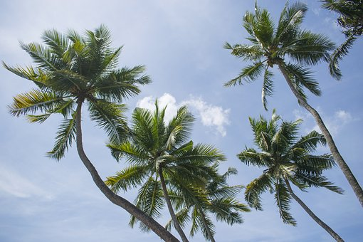 Cocount Tree, Background, Blue Sky, Coconut Tree