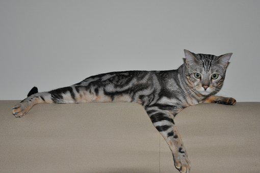 Cat, Bengal, Pet, Feline, Sofa, Lying Down, Indoores