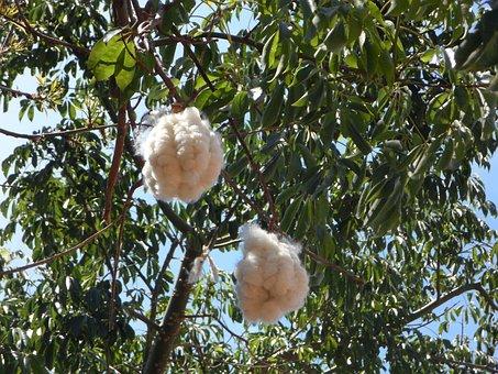 Seeds, Bottle Tree, Bottle Tree Seeds, Puschel, Soft