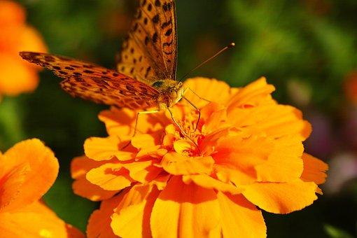 Blacktip Reef Shark Fritillary, Marigold, Butterfly