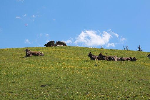 Kössen, Tyrol, Austria, Cows, Cow