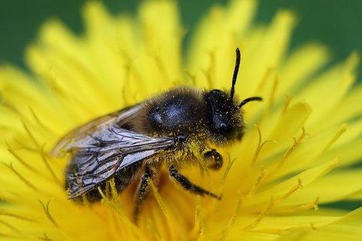 Honey Bee, Bee, Macro, Insect, Pollen, Pollination