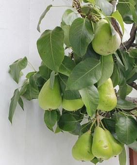Green, Pears, Fruit Tree, Espalier Tree, Pome Fruit