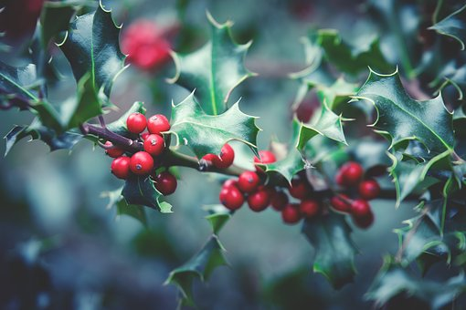 Plant, Berry, Berry Red, Bush, Close, Holly, Christmas