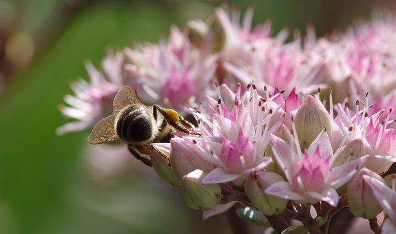 Bee, Stonecrop, Pollen, Honey Bee, Late Summer