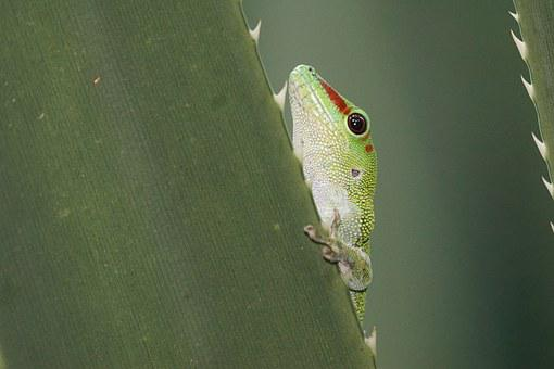 Animals, Reptile, Gecko, Madagascar, Rainforest