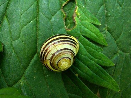 Slug, Animals, Sea Shells, Stripes