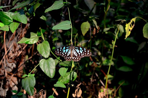 Butterfly, Blue, Tiger, Insects, Close-up, View, Animal