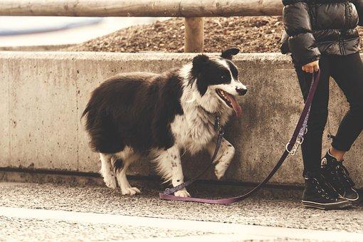 Dog, Leash, Walk, Gassi, Pet, Dog Leash, Obedience