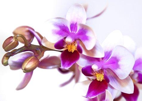 Phalaenopsis, Orchid, White Pink, Phalaenopsis Orchid