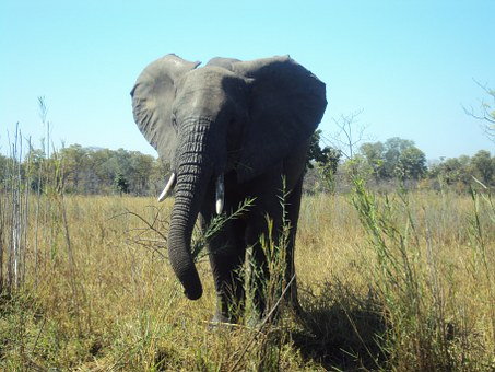 Elephant, Malawi, Wildlife