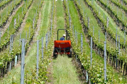 Agriculture, Winery, Vines, Wine Growers, Bauer