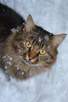 Cat Siberian, Animal, Winter, Yellow Eyes, Cat, Snow