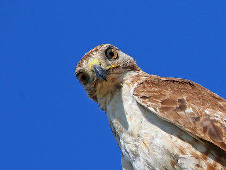 Red-tailed Hawk, Hawk, Juvenile, Young, Buteo, Predator