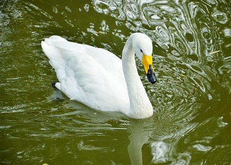 Swan, Bird, Zoo, Pond, Animal, Fauna, White, Feather
