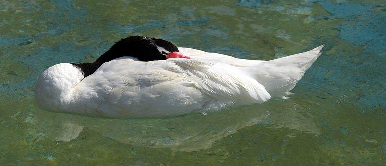 Black-necked Swan, Bird, Sleep, Nature, Animals