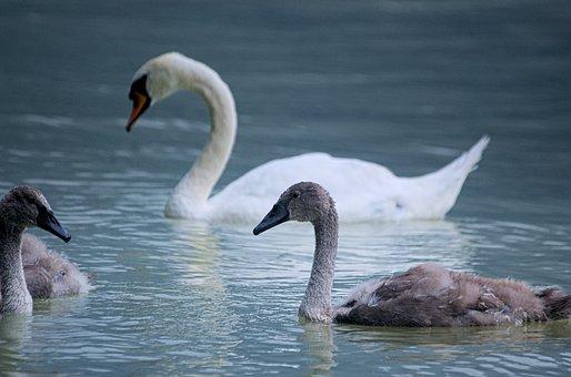Swan, Bird, Water Bird, Swans, Young, Baby Swan