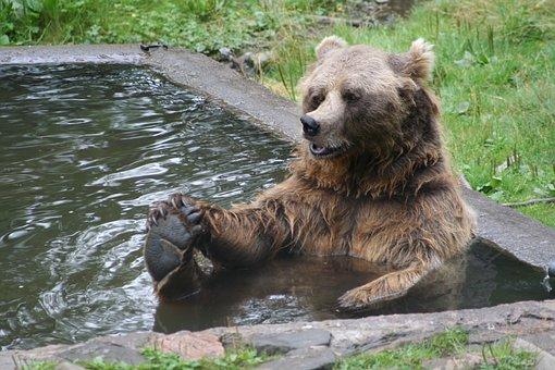 Brown Bear, Bear, Bather Bear, Wildlife