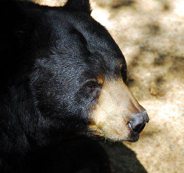 Black Bear, Animal, Wildlife, Bear, Mammal, Nature