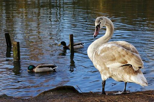 Swan, Young, Cygnet, Graceful, Lake, Water, Birds, Bill