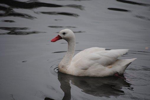 White, Swan, Bird, Nature, Water, Animal, Lake