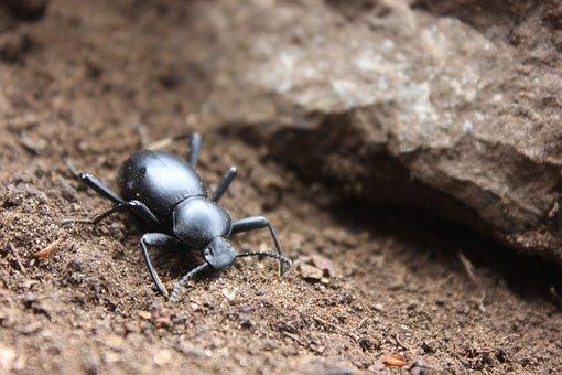 Insect, Beetle, Black Beetle, Small, Arthropod
