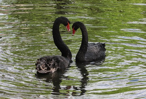 Black, Flirt, Swan, Head, White, Feather, Pond