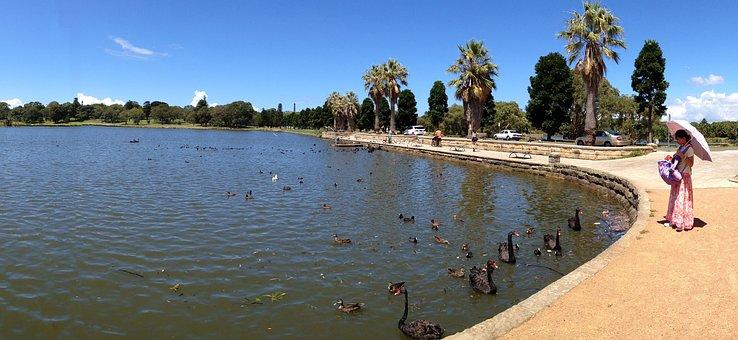 Centennial Park, Sydney, Black Swan, Lake