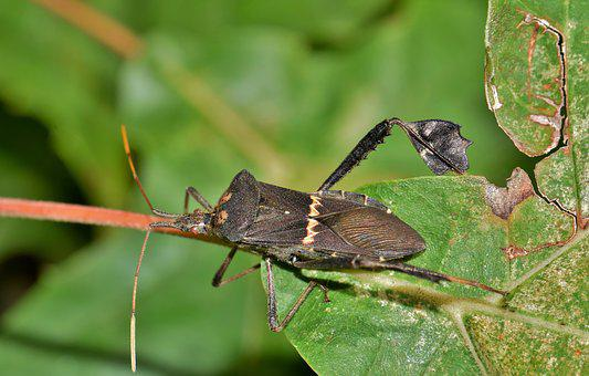 Beetle, Bug, Leaf Footed Bug, Citron Bug, Insect