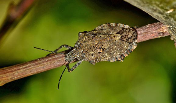 Bug, Stink Bug, Rough Stink Bug, Insect, Insectoid