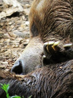Bear, Calgary Zoo, Bear Sleeping, Brown Bear