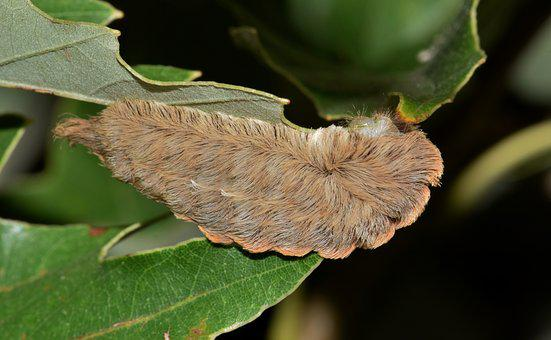 Caterpillar, Puss Caterpillar, Flannel Moth Caterpillar