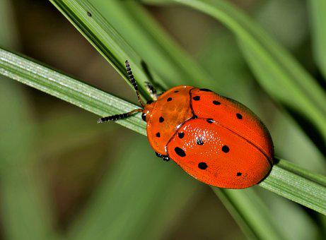 Beetle, Bug, Insect, Argus Tortoise Beetle, Creature