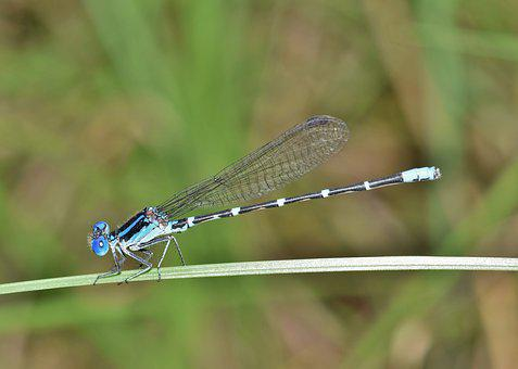 Damselfly, Familiar Bluet, Bluet, Insect, Insectoid