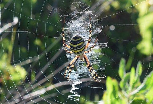Spider, Darázspók, Net, Nature, Arthropod